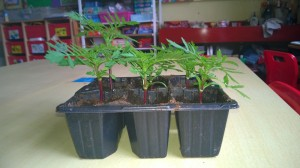 Our marigolds are growing. We water them and keep them at the window to get sun. We will transplant them soon.
